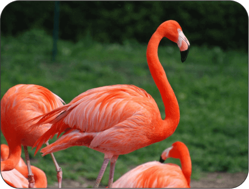 Flamingos a color